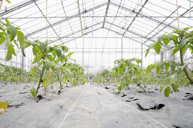 Cultivation of tomato plants in green house at daytime — Stock Photo