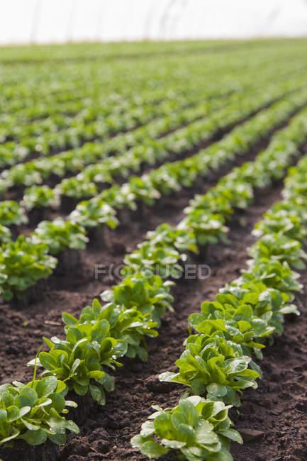 Rangées de salade de laitue — Photo de stock