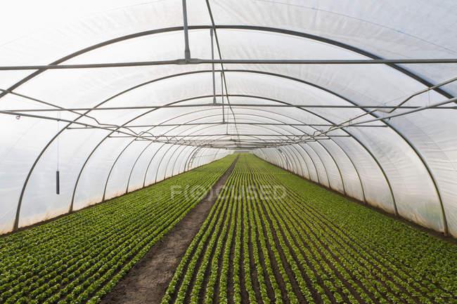 Salade de laitue en serre — Photo de stock