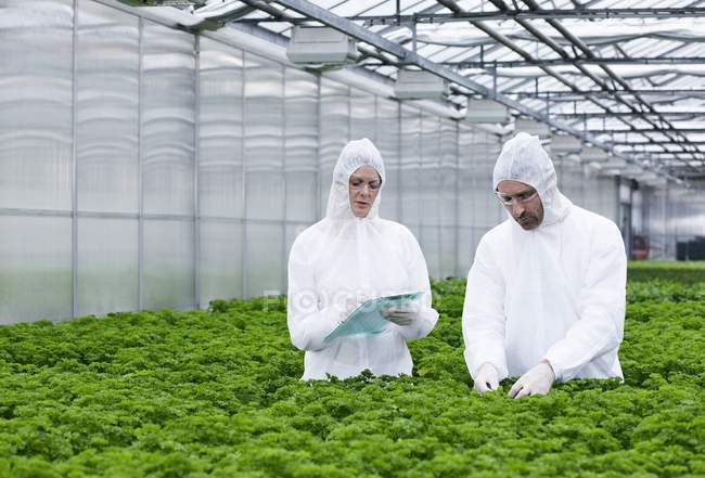 Scientists in greenhouse examining parsley plants — Stock Photo