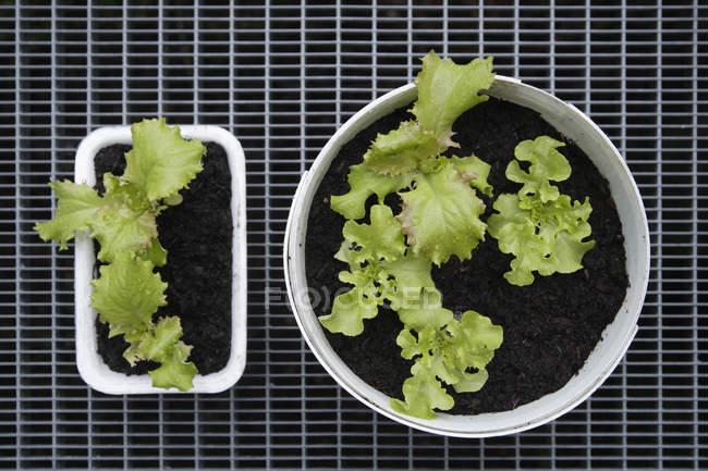 Culture de salade de laitue — Photo de stock