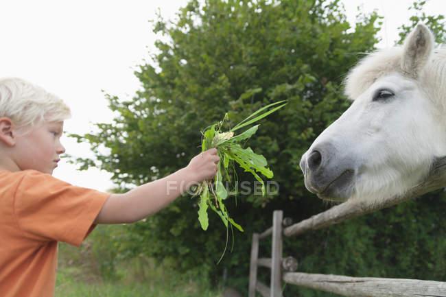 Мальчик, кормления трава пони в детский лагерь — стоковое фото