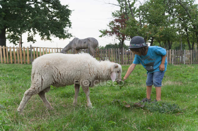 Boy feeding grass to sheep in childrens camp — Stock Photo