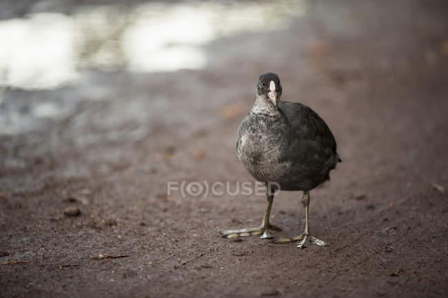 Canard debout sur le sable mouillé — Photo de stock