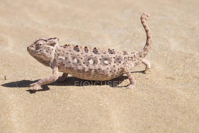 Afrique, Namibie, désert du Namib, Swakopmund, Namaqua caméléon, Chamaeleo namaquensis, sur le sable — Photo de stock