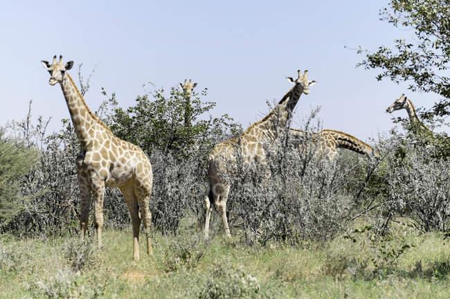 Namibia, etosha nationalpark, gruppe von giraffen, die auf einem feld weiden — Stockfoto