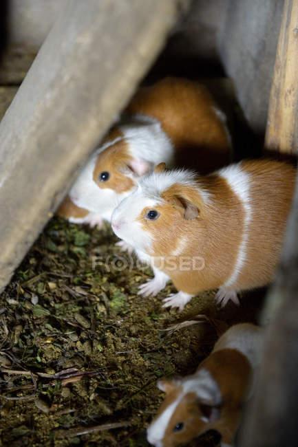 Perù, allevamento dei porcellini d'India, Cavia porcellus forma. domestica, in una fattoria — Foto stock