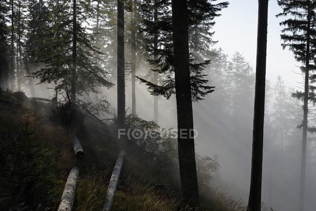 Austria, Tyrol, Chiemgau Alps, conifer forest in fog — Stock Photo