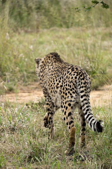 Africa, Namibia, Okonjima Nature Reserve, ghepardo, Acinonyx Jubatus, vista rara — Foto stock