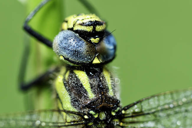 Крупным планом вид волосатые стрекоза — стоковое фото