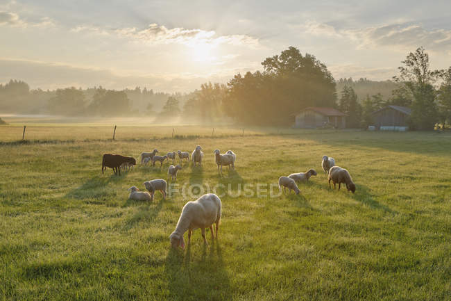 Flock of sheep at Simssee, Bavaria, Germany — Stock Photo