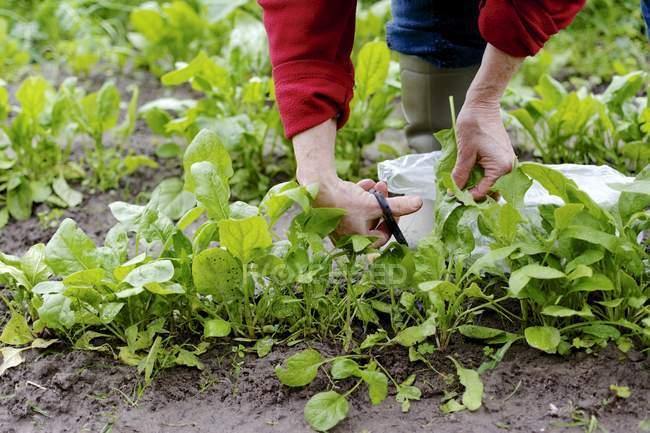 Mujer cosecha espinacas hojas en huerto, parcial vista - foto de stock