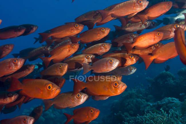 Oceanía, Palaos, Peces de ojos grandes - foto de stock