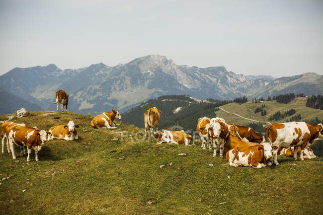 Cows on alpine meadow — Stock Photo