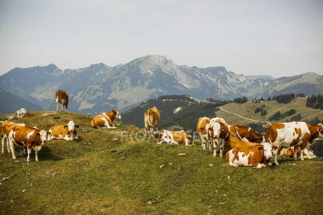 Коровы на альпийском лугу — стоковое фото