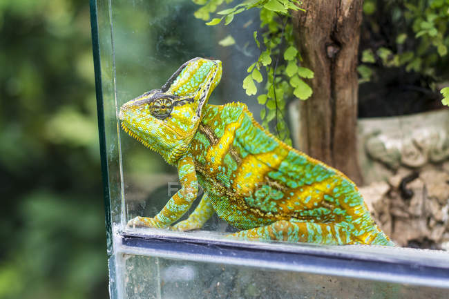 Chameleon, Chamaeleonidae, sitting in terrarium — Photo de stock