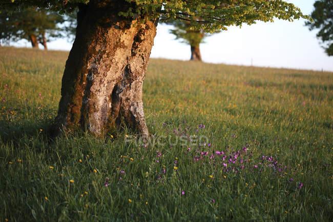 Германия, черный лес, дерево бук, гонимые ветром дерево вечером — стоковое фото