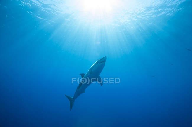 Біла акула нижній подання — стокове фото