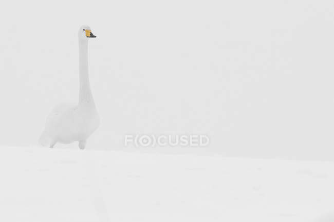 Swan standing in the snow — Stock Photo