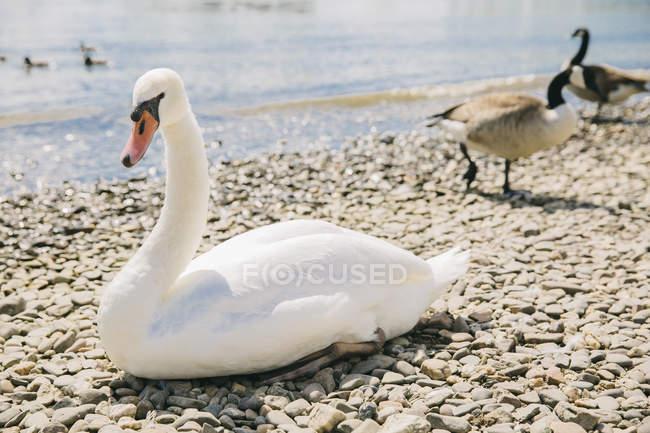 Cygne blanc sur des cailloux — Photo de stock