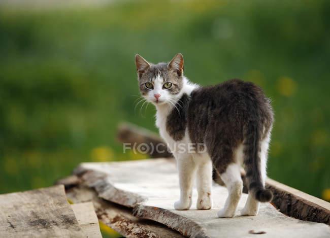 Grey white tabby cat — Stock Photo