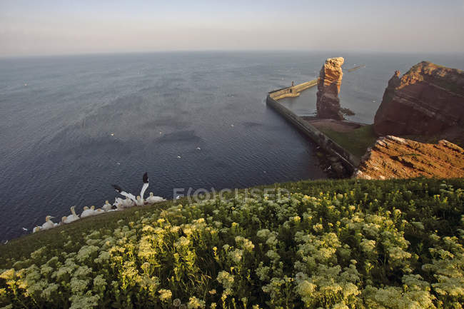 Germany, Helgoland, colony of northern gannets over water — Stock Photo