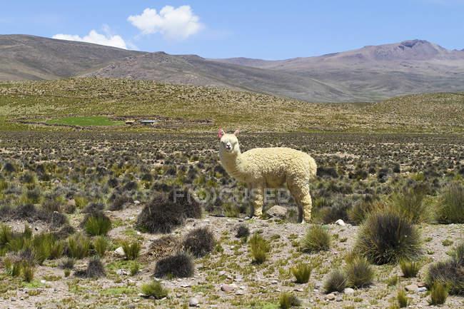 Vista di un Alpaca nelle Ande — Foto stock