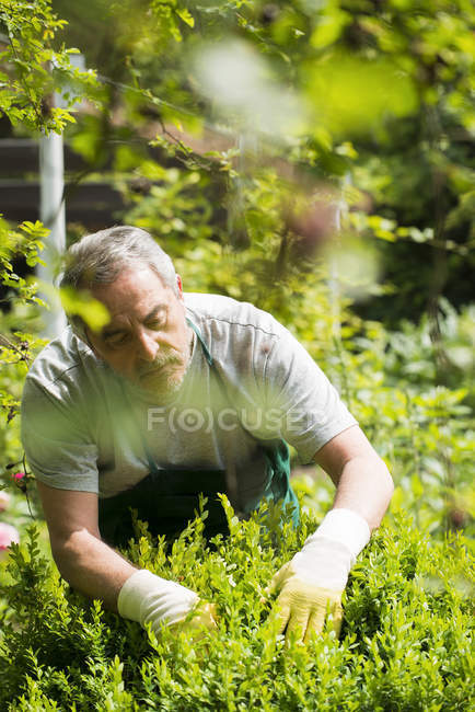 Man working in garden by green bush — Stock Photo