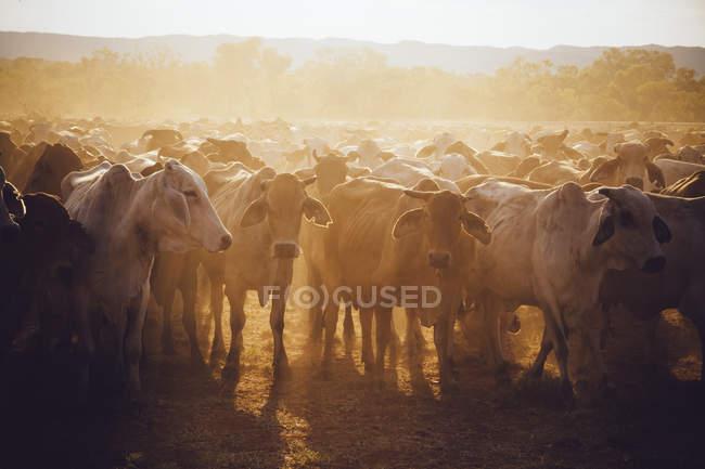 Австралія, Західної Австралії, Австралійський пастуший на фермі — стокове фото