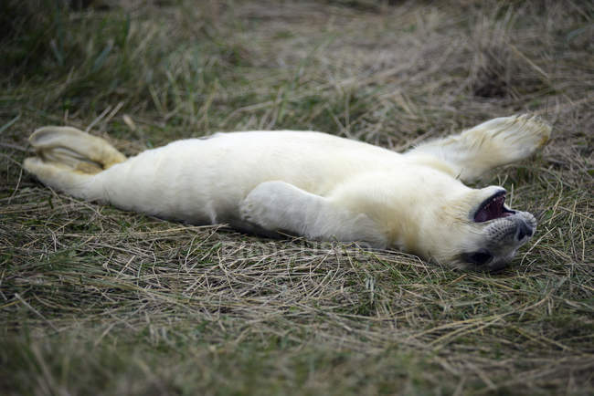Young grey seal lying on meadow at daytime — Stock Photo