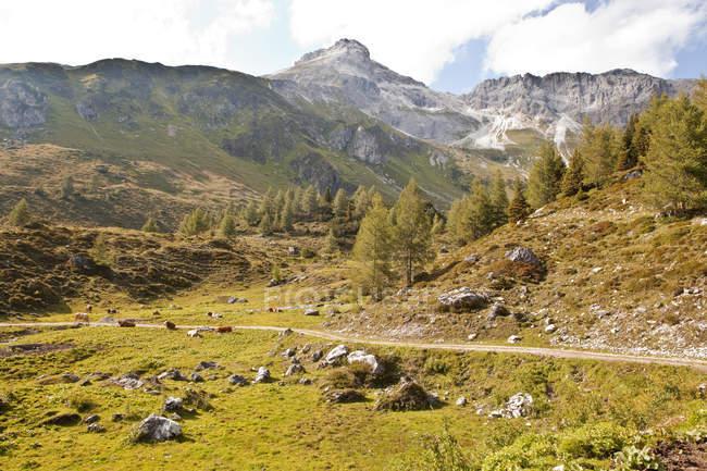 Австрія, Лунгау, стежки і корів у альпійським ландшафтам денний час — стокове фото