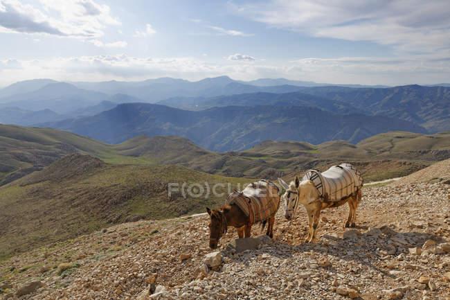 Туреччина, Анатолії, два віслюків на гору Nemrut — стокове фото