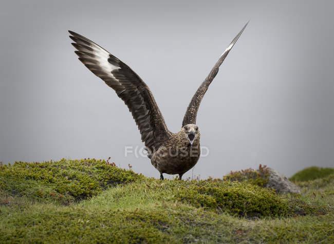 Great skua avec ailes crier sur les rochers moussus — Photo de stock
