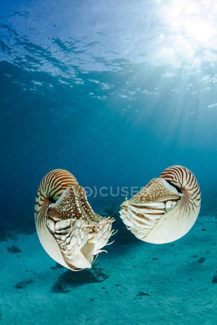 Океания, Палау, Палау nautilus, Nautibelauensis, в Тихом океане — стоковое фото
