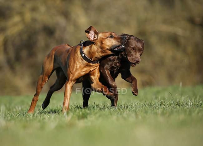 Ridgeback de Rodesia y perro perdiguero de Labrador marrón - foto de stock