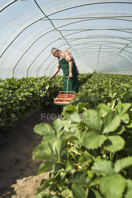 Farmer harvesting strawberries in greenhouse — Stock Photo