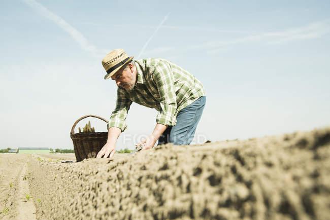 Farmer cutting asparagus — Stock Photo