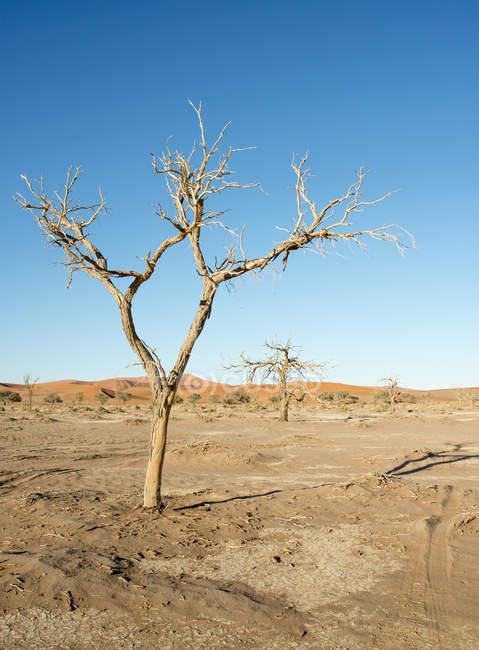 Afrique, Namibie, Sossusvlei, dune de sable, des arbres morts sur le champ de sable — Photo de stock