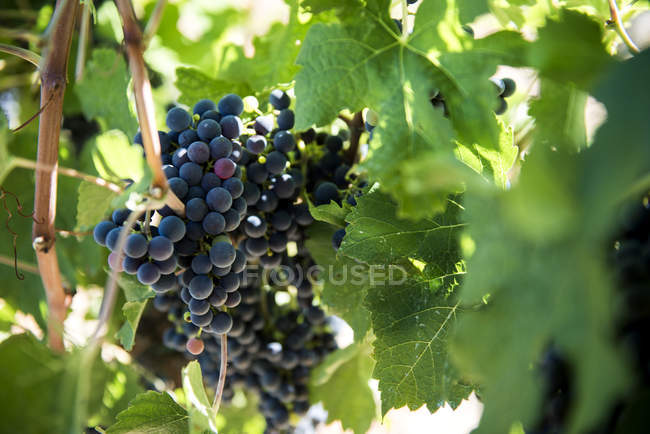Italy, View of vineyard during daytime — Stock Photo