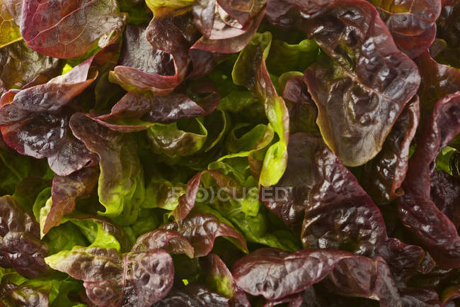 Red leaf lettuce leaves — Stock Photo