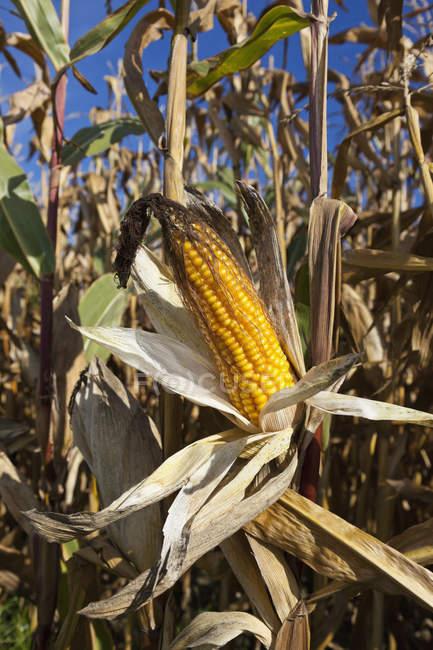 Corn cob growing in field — Stock Photo