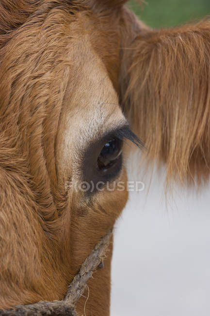 Eye of cow closeup view — Stock Photo