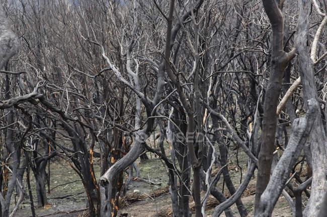 Espagne, La Gomera, endommagé par le feu dans le Parc National de Garajonay — Photo de stock