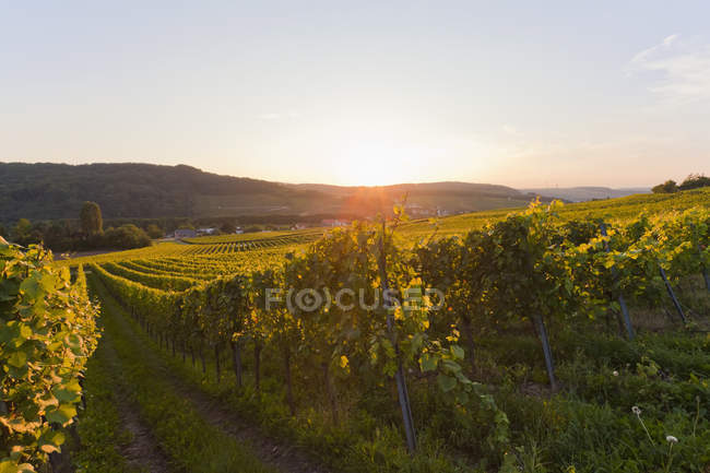 View of vineyards at sunrise, Saarland, Germany — Stock Photo