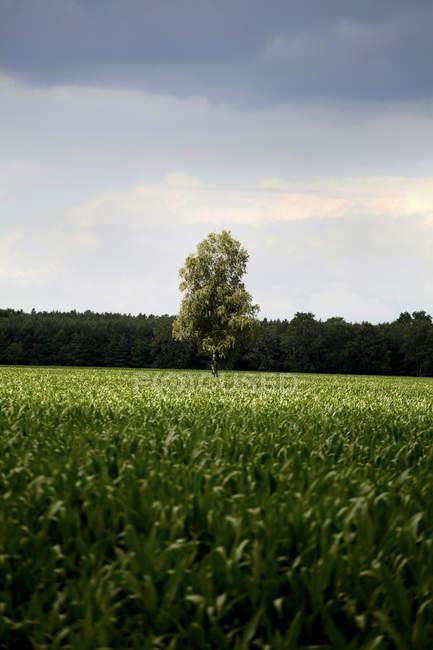 Allemagne, Mecklembourg Poméranie Occidentale, Vue d'un seul arbre entre deux champs — Photo de stock