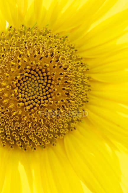 Deutschland, Hessen, Nahaufnahme Sonnenblume, Vollrahmen — Stockfoto