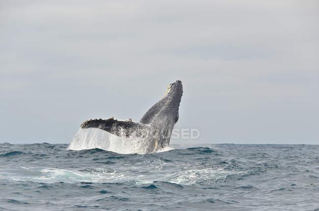 Équateur, Baleine à bosse sautant dans l'eau — Photo de stock
