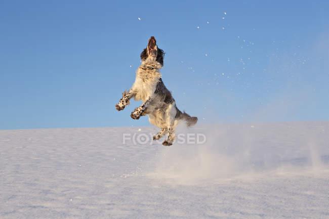 Springer Spaniel anglais jouant dans la neige — Photo de stock