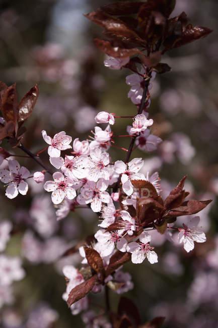Cherry flowers in garden on blurred background — Stock Photo
