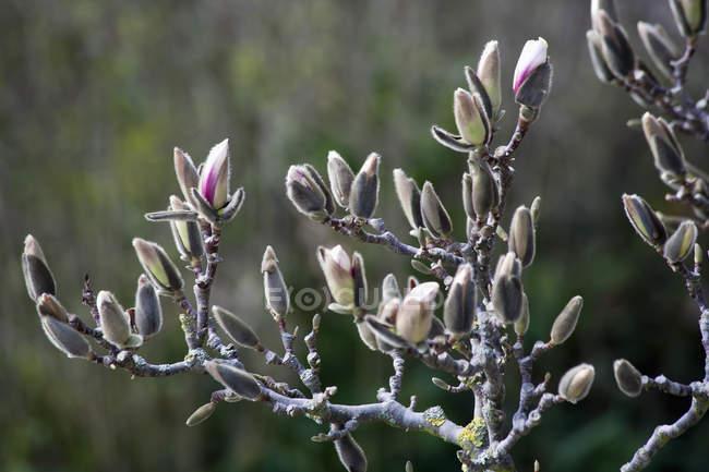 Магнолія Квітка весни на розмитість фону — стокове фото